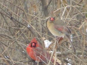 バックヤードにおいたバードフィーダーの近くの枝にいた鳥2羽です。夫婦でしょうか?